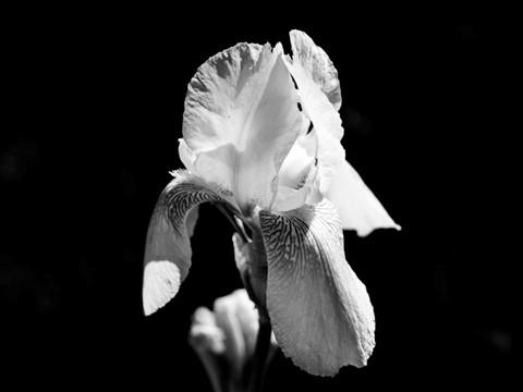 iris (1 of 1)