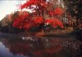 Red Maple at sunrise 1986