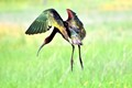 """I"" is for Ibis (white-faced ibis)"