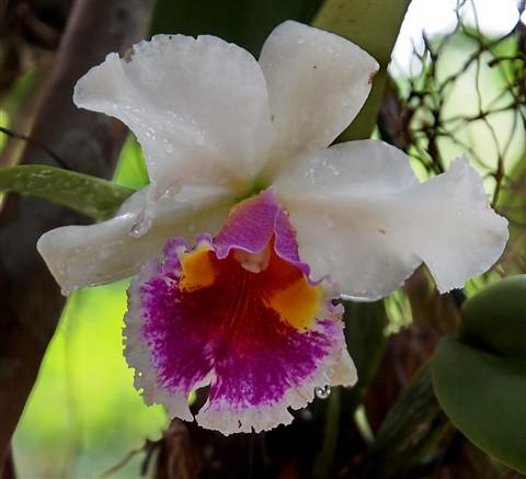 A Thai Wild Orchid