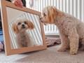 Cavachon looking in mirror.