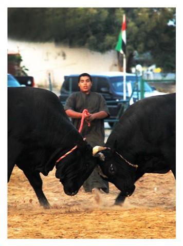 Fujairah : Bullfight 1