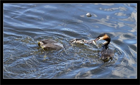 Grebe_feeding_chick