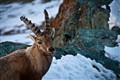 Swiss Ibex