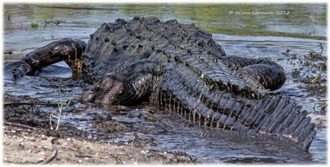 American alligator (Alligator mississippiensis), a big one!
