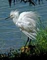 Snowy egret (Egretta thula) - Reed canal park, South Daytona, FL, USA - Date taken - 09/25/17, 1:20 PM - Photo ID - DSCF0837 - Camera - FinePix X-S1 © 2017 Bill Elvey