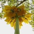 Fritillaria imperialis is a species of flowering plant in the lily family.