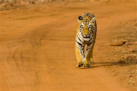 Tiger India