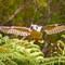 The Flying Kookaburra