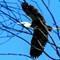 Blu Heron in flight