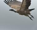 Timbavati Dec 2013 - Vulture