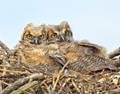 Great Horned Owl Chicks....