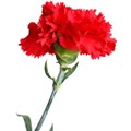 carnation[1]