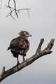 Immature Snake Eagle