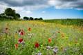 Wild flowers in Zeeuws Vlaanderen