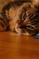 Lazy Tiger cat