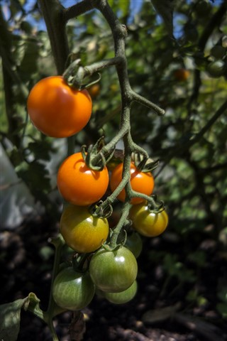 EC_Tomatoes