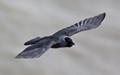 Jackdaw Flying
