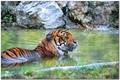 Big cat getting wet