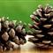 IMG_0190-2 Pine Cones