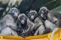 Spectacled Langurs - Philadelphia zoo