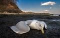 Gull in distress
