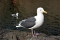 Seagull at Otaru Canal