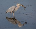 Great Blue Heron With a Banded Water Snake