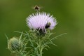 Wild Flowering Thistle Weed with Bees