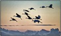 Sandhill cranes Returning at Dusk