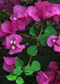 a pink bougainvillea with a flop