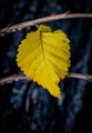 One yellow leaf