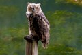 Juvenile Great Horned Owl on Post