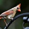 m58_Cardinal