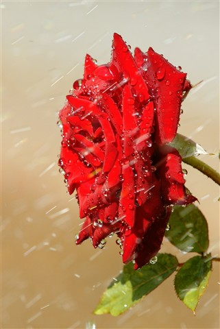Rose on watering