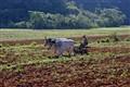 Ploughing in Vinales