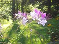 Cleome in Morning Sun