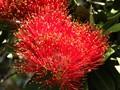 Pohutakawa Tree Blossom