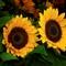 IMGP1579 2 Sonnenblumen