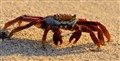 Sally Lightfoot Crab on Beach