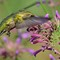 Ruby-throated hummingbird & Agastache ' Tutti Frutti '