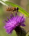 Thistle & Hoverfly