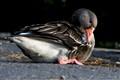 Goose, comin at ya