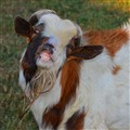 Sneering Goat
