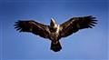 Young Eagle (L)