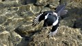 Magpie searching