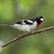 Rose-breasted Grosbeak (male):