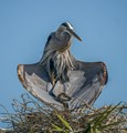 The Great Blue Heron with chicks