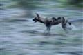 Wild Dog Running