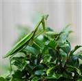 Posing Mantis